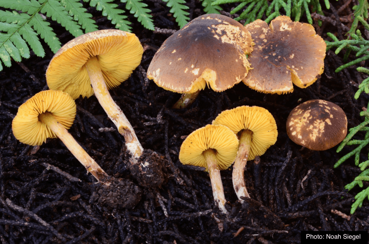 Join our West Coast Rare 10 Challenge and help us document rare and threatened fungi